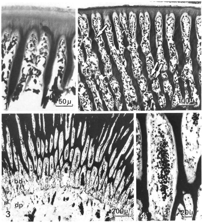 138 B. Kerebel et al. Fig. 1. Early stage of dentinogenesis. Formation of dentinal trabeculae. Decalcified section, trichrome stain of Masson. x 20