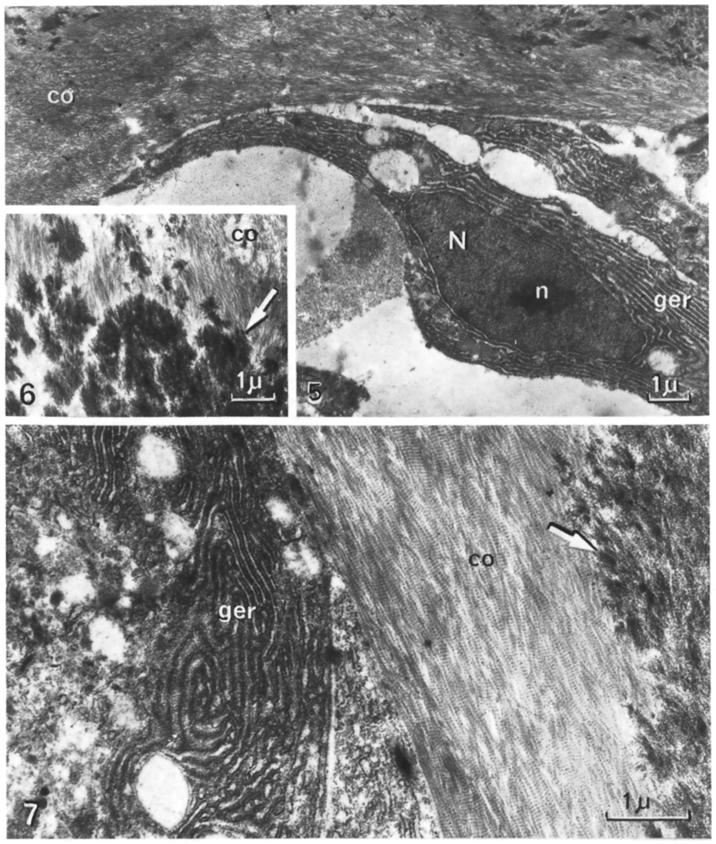 Osteodentine and Vascular Osteodentine 139 Fig. 5. Formation of a bone marrow-like space. N nucleus; n nucleolus; ger granular endoplasmic reticulum; co collagen. TEM image x 68