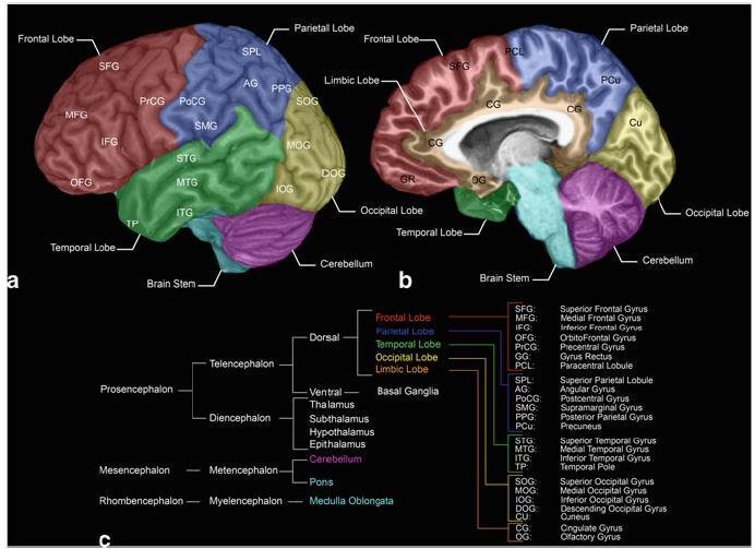 Figure I.1 Representations of the cortical structures Lateral view (A), medial view (B) and brain ontogeny (C) (from (Forstmann et al., 2015)) 1.
