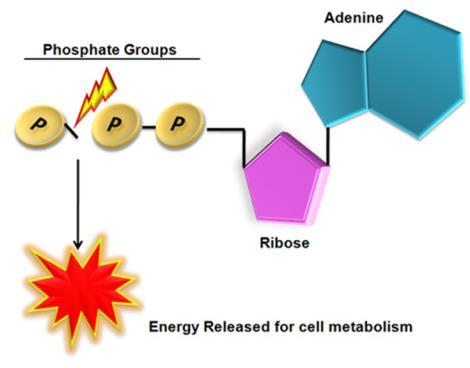 Energy Currency - ATP ATP is used by cells for energy Adenosine triphosphate Made of a nucleotide with 3 phosphate groups Energy is stored in the chemical bonds