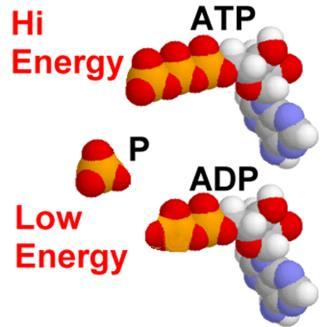 (adenosine Diphosphate) can be rejoined to the free phosphate to make more ATP Carbohydrates Carbohydrates are sugars which are composed of carbon, hydrogen and
