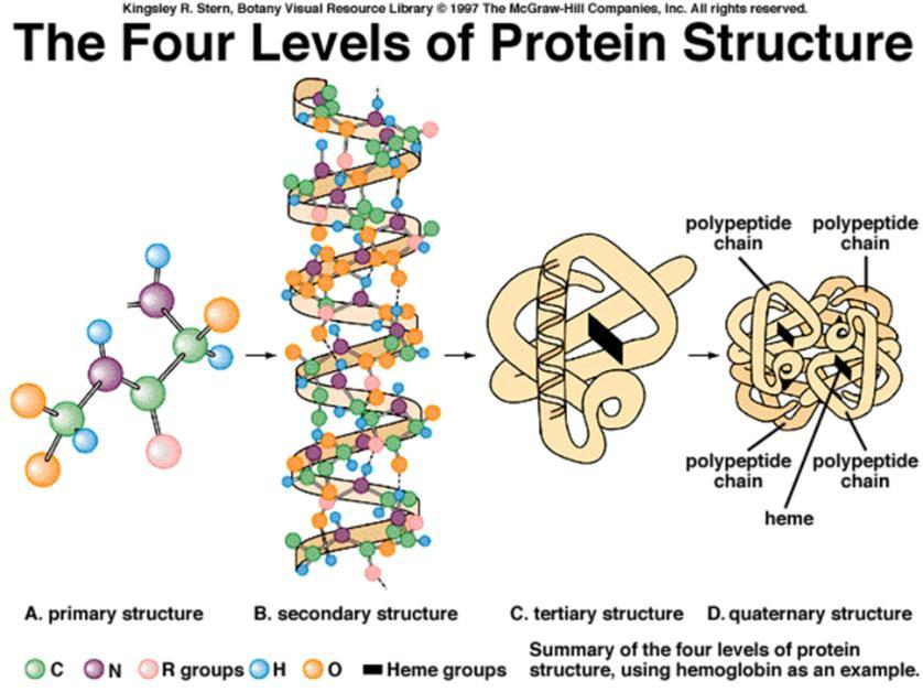 Secondary structures bent and folded into a more complex 3-D arrangement of linked polypeptides Bonds: H-bonds, ionic, disulfide bridges (S-S) Call a subunit. 4.