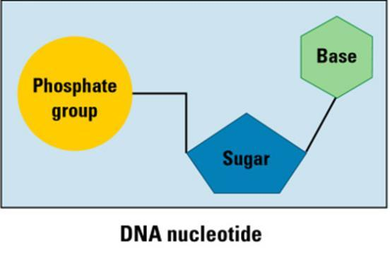 information Contain information for making all the body s proteins Polymers of nucleotides Two types exist --- DNA & RNA Deoxyribonucleic acid (DNA-double helix) Each DNA nucleotide has one of the