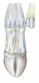 3. MEDIAL THIGH AND CAUDAL CRURAL MUSCLES WITH THEIR NERVES Medially on the thigh the gracilis is detached from the symphyseal tendon and removed, except for a short distal stump.