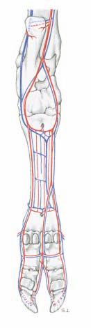 5. ARTERIES, VEINS, AND NERVES OF THE PES The dissection is done as on the thoracic limb (see p. 8).