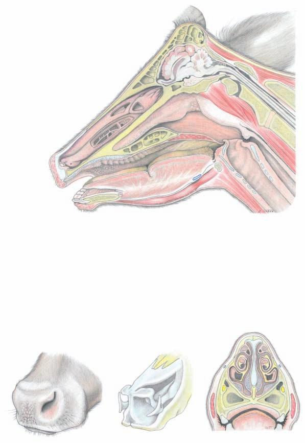 Nasal cavity, Oral cavity, and External nose (Paramedian section) 1 Ethmoid conchae 2 Middle concha 3 Common meatus 4 Dorsal meatus 5 Dorsal concha 6 Middle meatus 7 Ventral concha 9 Straight fold 8