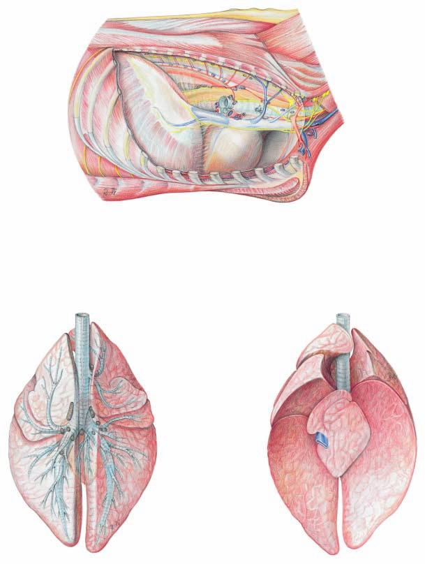 Right thoracic cavity and Lungs 10 Intercostal lnn.