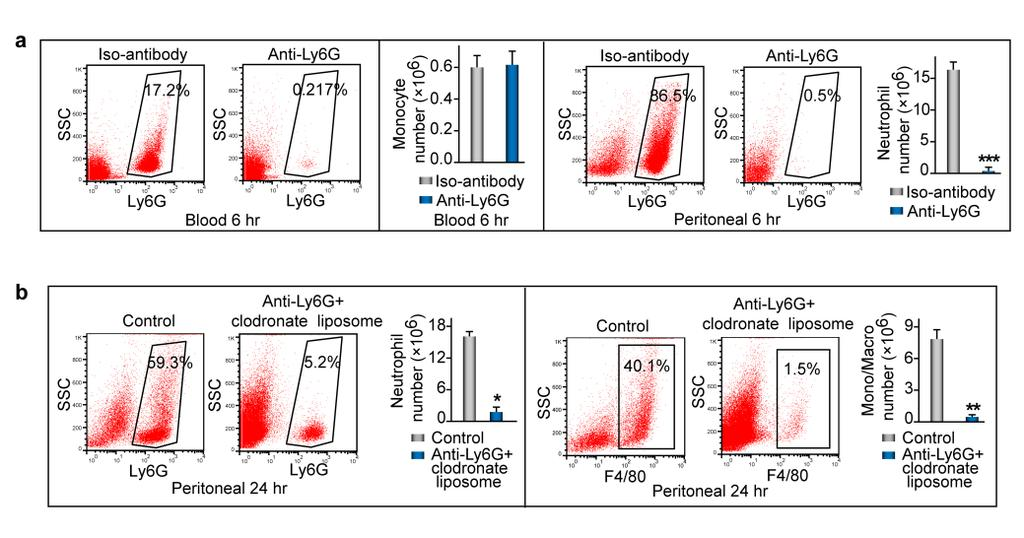 Supplementary Figure 3. Phagocytes induce respiratory burst and EPO signaling activation during acute inflammation resolution. ZymA (i.p., 1mg per mouse) was applied to induce peritonitis in male WT mice.