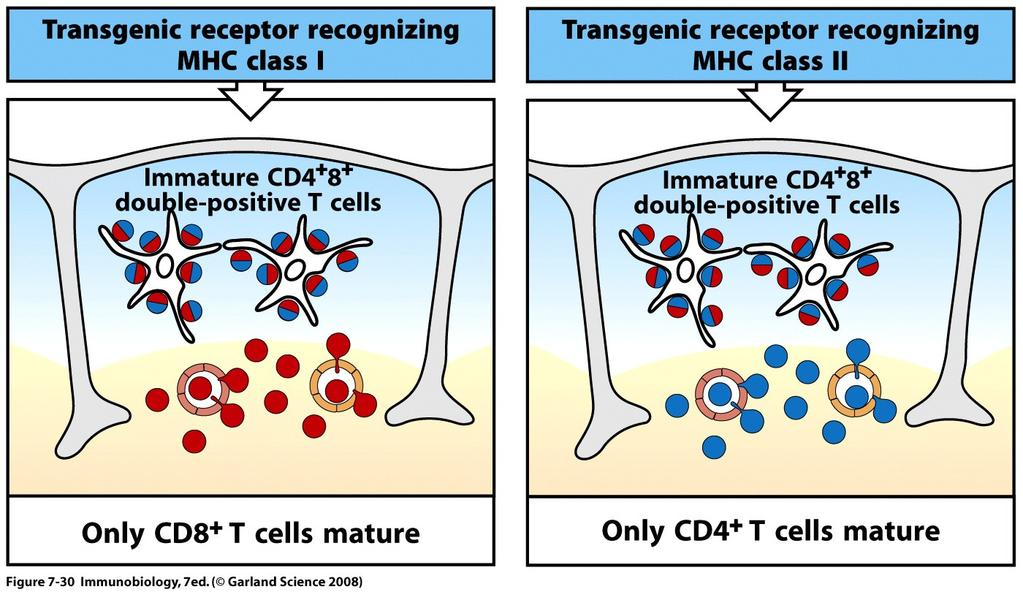 The TCR/MHC interaction is the primary mediator of coreceptor choice Transgene-encoded TCR