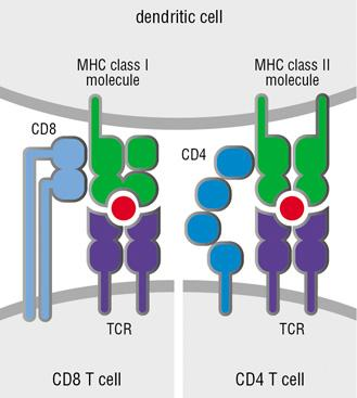 T cell development proceeds through several steps Periphery (SP, LN) ~3 weeks Bone marrow-derived stem cell: TCR genes in germline configuration No coreceptor expression (CD4-, CD8-) Not