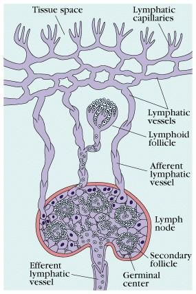 Lymphocytes move through blood and lymph Lymph: Interstitial Fluid
