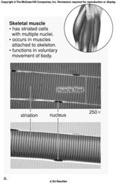 4.3 Muscle tissue moves the body 2.