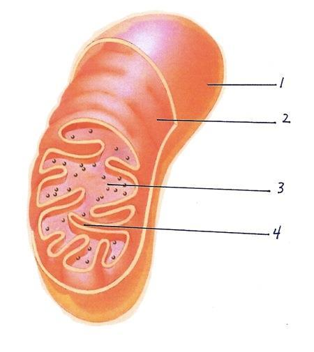 STRUCTURE OF THE MITOCHONDRIA F. The matrix is the space inside the inner membrane.