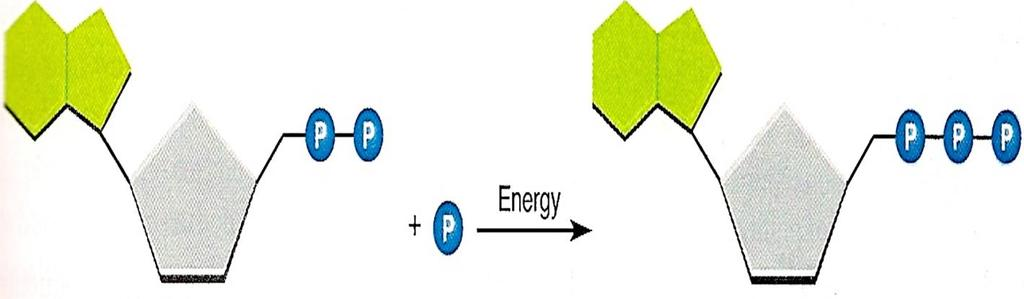 D. How ADP Becomes ATP 1. ADP is a compound that looks almost like ATP. The difference is that.. ADP has 2
