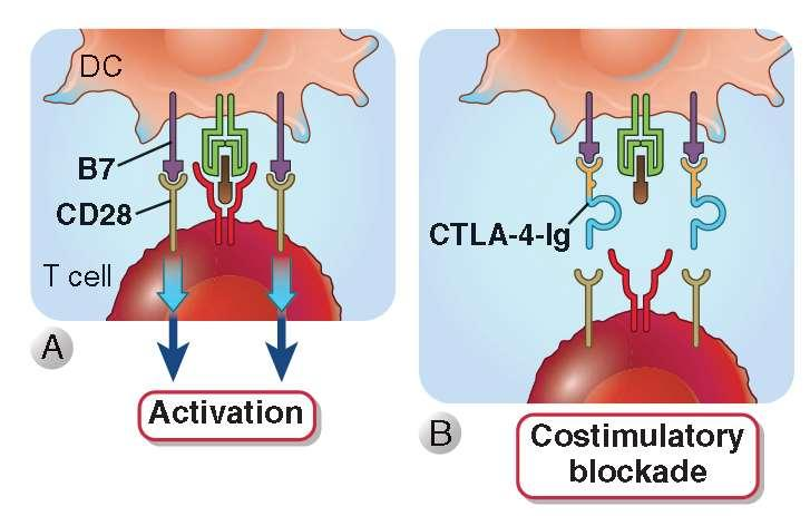 Therapeutics Targeting the B7:CD28 family Costimulatory blockade CTLA-4-Ig inhibits T cell activation and is used in diseases caused by T cell