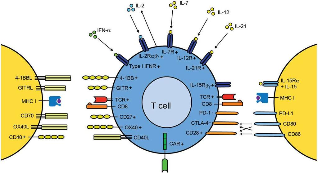 Other T Cell Costimulatory Molecules TNF/TNFR super family B7/CD28 family Some costimulatory molecules and receptors are
