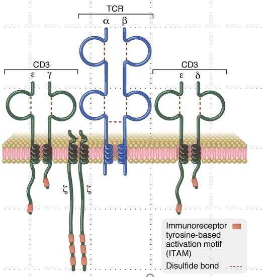 The TCR Complex Outside cell Plasma membrane Cytosol The TCR antigen binding ab TCR heterodimer, which
