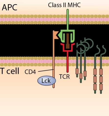 TCR signaling: ITAM phosphorylation