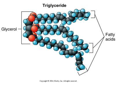 Triglycerides Formed from two building blocks Glycerol and fatty acids Store a great deal of energy for the body When you eat, your body
