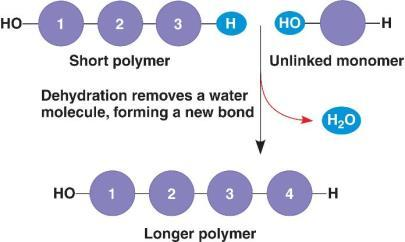 Dehydration Synthesis The chemical reactions that bond together macromolecules are similar and REQUIRE water To allow a bond between monomers, a H atom and a OH molecule are