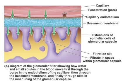 glomerular capsule The filtrate passes into the renal tubule 24 The renal tubule Glomerulus Glomerular capsule Space within the glomerular capsule Proximal convoluted tubule Path of filtrate Path of