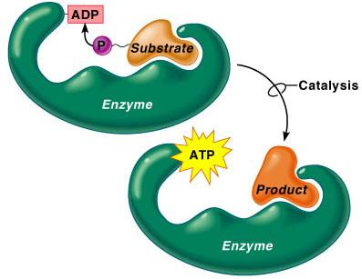 Mechanisms of ATP Synthesis: Substrate-Level Phosphorylation High-energy phosphate groups are transferred directly from