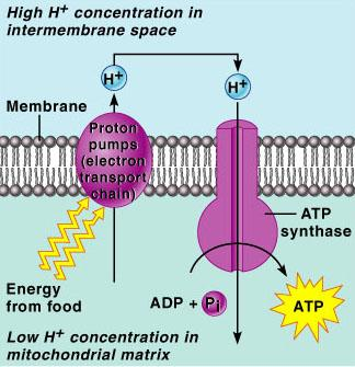 Mechanisms of ATP