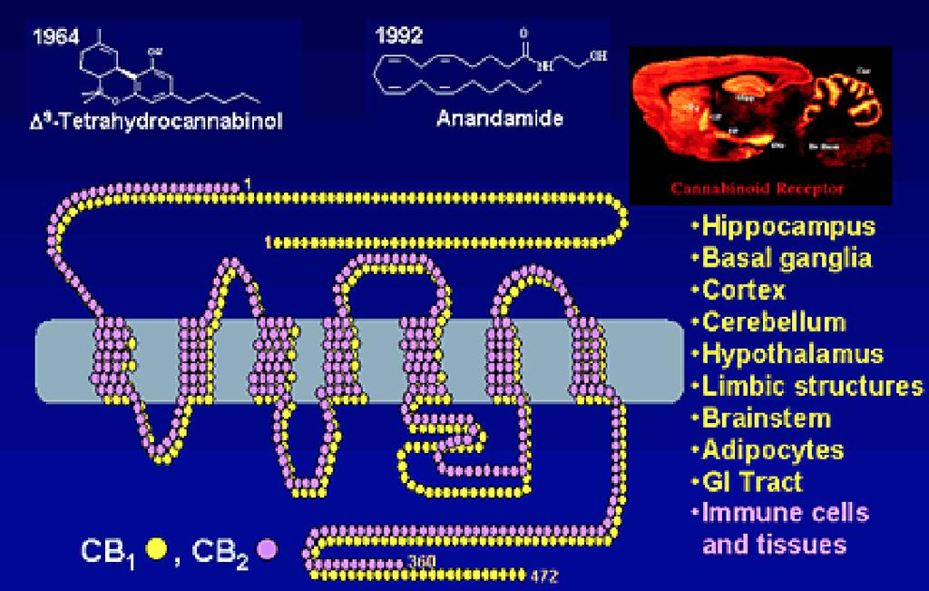 The Cannabinoid receptors (Endogenous