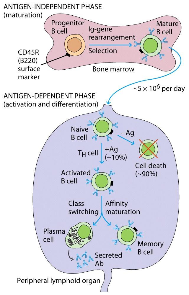 Chapter B cell generation, Activation, and Differentiation - B cells mature in the bone marrow.