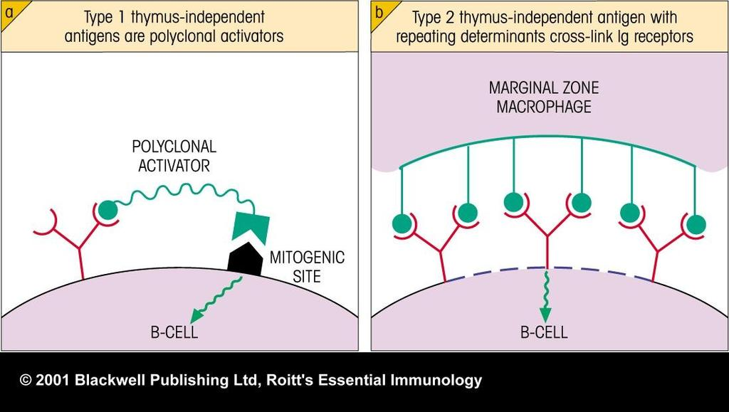 Type I T-independent antigens: are mitogens (polyclonal activators) such as lipopolysaccharide (LPS) that activate B cells via nonspecific binding to B cell surface molecules.