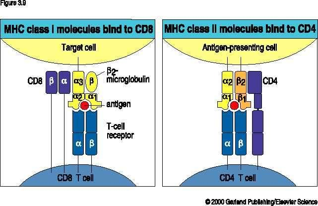 CD8 binds MHC class I CD4 binds MHC class II Most mature T cells are either CD4+ or CD8+.
