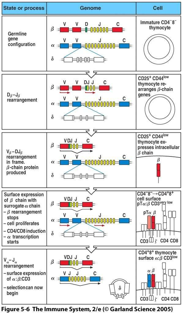 TCR gene rearrangement generates the TCR repertoire Pre-TCR complex stops further gene