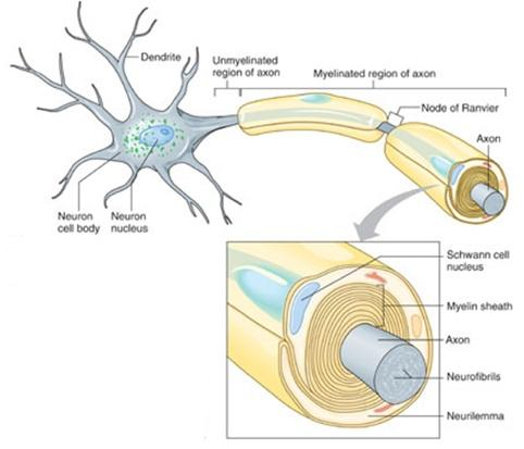 CELLS of the Nervous System A. Neuroglia Neuroglia outnumber neurons 50 to 1.