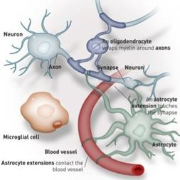 A. Neuroglia (CNS) There are six types of