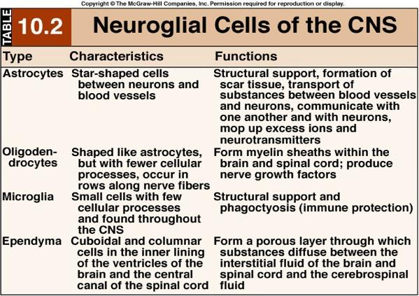 CELLS of the Nervous System 17 CELLS of the Nervous System B. NEURON STRUCTURE 1. The control center of the neuron is its soma (or perikaryon: cell body).