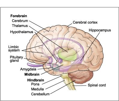 The Structure of the Brain The