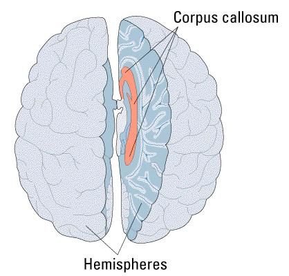The Callosum Millions of connecting the brain s hemispheres.