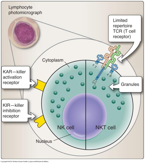 Lymphocytes All originate from HSC in bone marrow that are directed down the lymphoid lineage pathway Named after the place they mature or undergo education before circulating in the blood