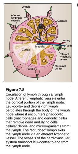 Lymphoid Tissues and Organs Primary Lymphoid Organs: Are Places of immune education and selection 1. Thymus - T cells 2.