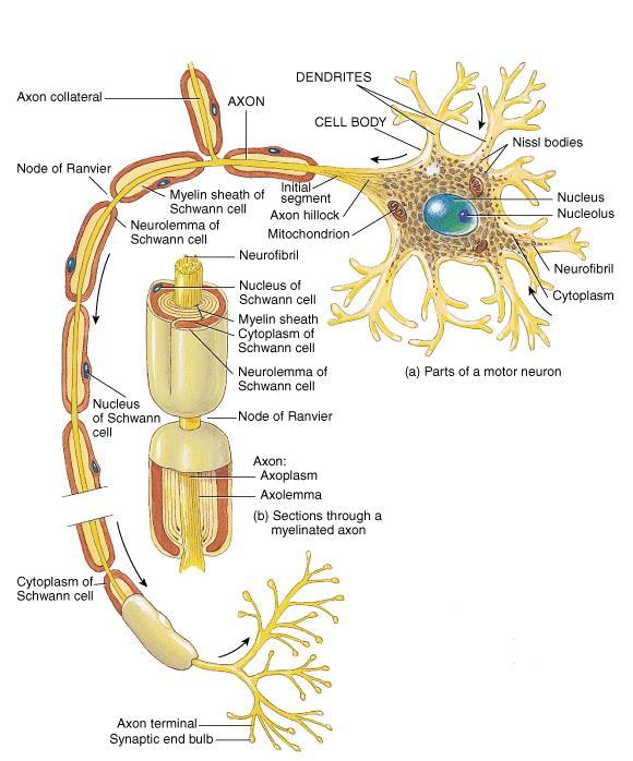 Conduct impulses Away From Cell Body Long, thin cylindrical process of cell Arises at Axon Hillock Impulses arise from initial segment (Trigger Zone) Side
