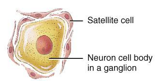 Neuroglial Cells (PNS): Satellite Cells Flat cells surrounding neuronal