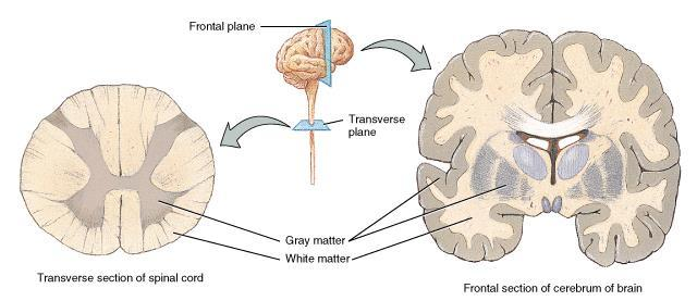 Gray and White Matter White matter = myelinated processes (white in color) Gray matter = nerve