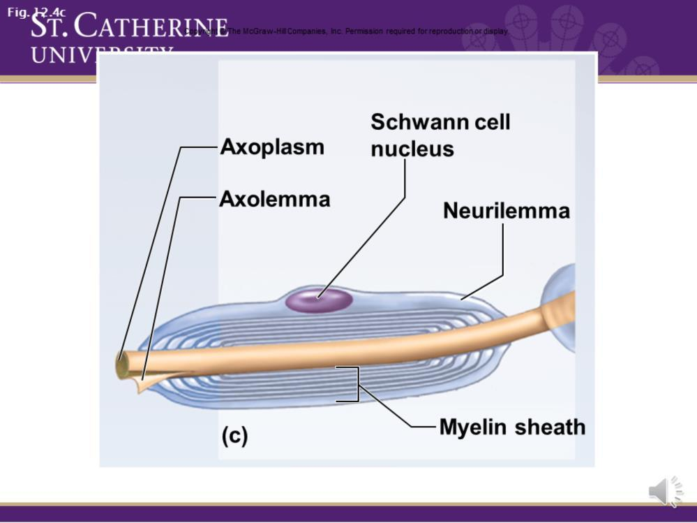 Here is our schwann cell. The first layers wrap really tightly and pack together.