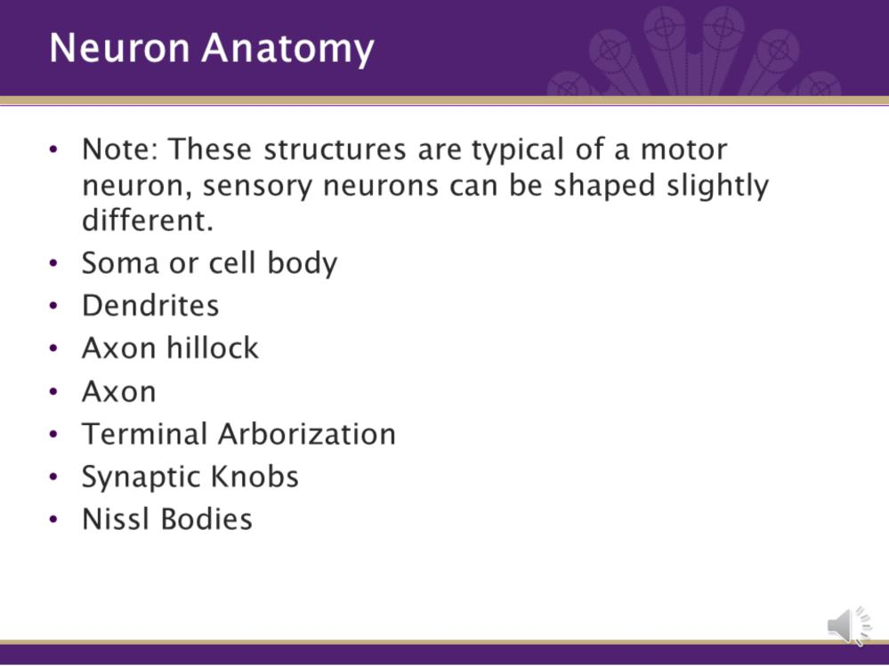 The neuron has a unique anatomy. The following structures are typical of a motor neuron. Sensory neurons have a slightly different shape. A Soma is the cell body and is the processing part of cell.