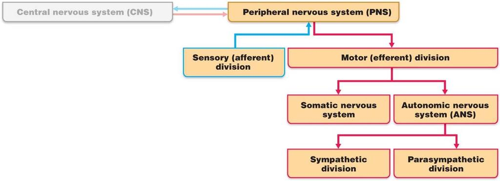 Chapter 13 PNS and reflex activity I. Peripheral nervous system A. PNS links CNS to the body B. Sensory: the afferent division C. Motor: the efferent division D.