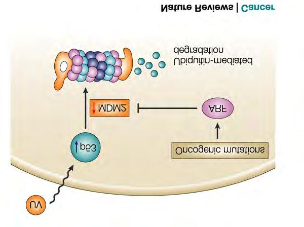 RETROVIRAL ONCOGENESIS Inserted oncogenes: Growth factor receptors - One example is epidermal growth factor receptor which promotes wound healing by stimulating cell growth.