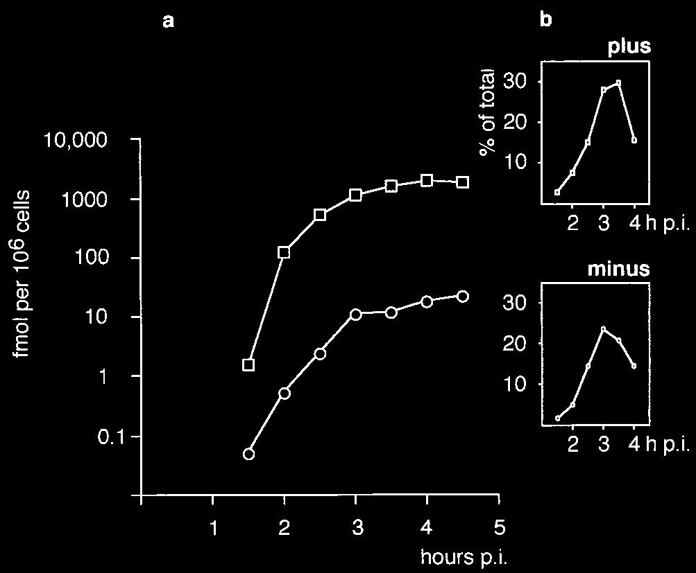 8580 BOLTEN ET AL. J. VIROL. FIG. 1. Kinetics of plus- and minus-strand RNA synthesis in PV-infected HEp-2 cells as determined by RPA. (a) Time p.i. versus amounts (logarithmic scale) of plus ( )- and minus (E)-strand RNA synthesized.