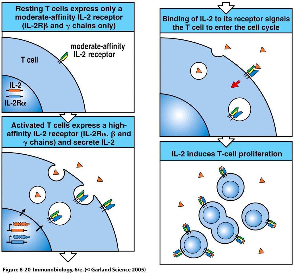 Activation of T-lymphocytes