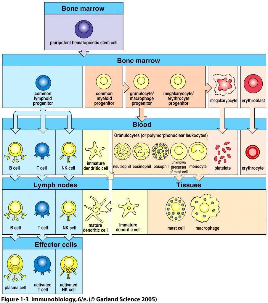 All T-lymphocytes