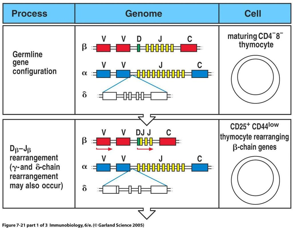 Rearrangement of TCR genes in